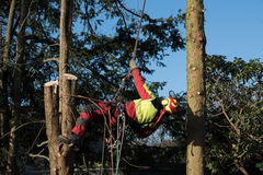 Tree climber in the sunlight cutting down a tree Royalty Free Stock Photography