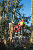Tree climber in the sunlight cutting down a tree Stock Photography