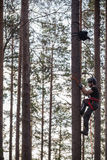 Tree climber up in a tree with climbing gear Royalty Free Stock Photo
