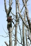 Tree climber Royalty Free Stock Photos