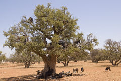 Tree Climbing Goats Royalty Free Stock Photography