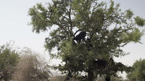 Tree climbing goats in Morocco. Herd of goats clibmed the Organ trees and eat leaves in Morocco stock footage
