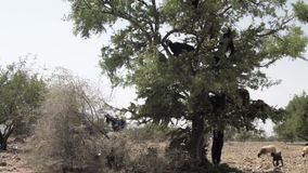 Tree climbing goats in Morocco. Herd of goats clibmed the Organ trees and eat leaves in Morocco stock video footage