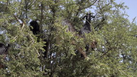 Tree climbing goats in Morocco. Herd of goats clibmed the Organ trees and eat leaves in Morocco stock video