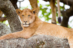 Tree climbing lion rests in Africa. African lion in a tree a hot day in Serengeti, Tanzania. This photography is taken just a short distance away from a wild Stock Photo