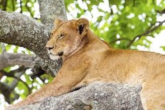 Tree climbing lion rests in Africa Stock Image