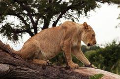 Tree-climbing lion, Serengeti, Africa Royalty Free Stock Photos