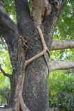 Tree With Climbing Vine Stock Photography