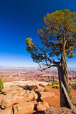 Tree Clings to the Cliff in Canyonlands Utah Stock Images