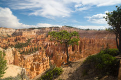 Tree clings to the edge of Bryce Canyon Royalty Free Stock Photo