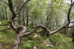 tree close to Preikestolen Stock Photos