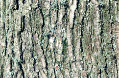 Tree close up. Detailed shot of lichen on old oak tree Stock Photos