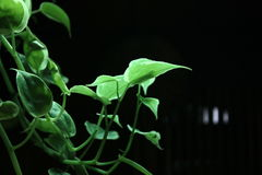 Tree. Close up golden pothos take back light and selective focus with black background, copy space Royalty Free Stock Images