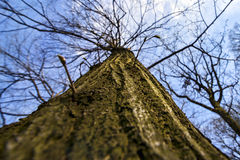 Tree closeup. Tree and branches and the sky above Royalty Free Stock Photos