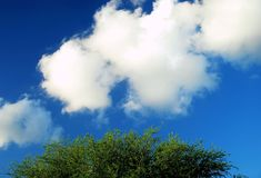 Tree and clouds. Bright blue sky with puffy white clouds over a mimosa tree royalty free stock photos