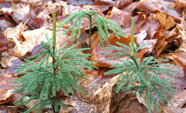 Tree clubmoss. Lycopodium obscurum; Columbia Co.,NY forest floor Stock Photography