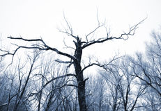 Tree with clumsy branches. In hoarfrost Stock Images