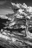 Tree on the coast, IR stock photography