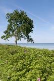 Tree at the Coast Stock Photos