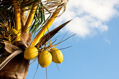 Tree Coconuts on Tree Against Sky. A coconut palm tree with tree coconuts against a sunny sky Stock Photos