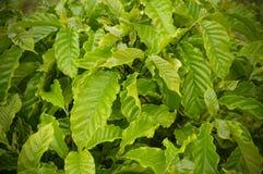 Tree coffee leaves Stock Photo