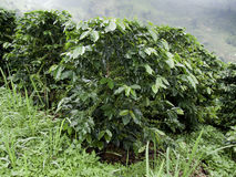Tree coffee. On Mountain good weather Stock Photo