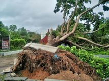 Tree collapse after typhoon stock photo