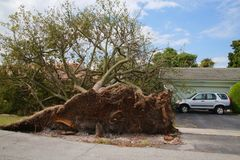 Tree Collapsed Hurricane Irma. A tree has been uprooted and knocked over revealing its root cluster, tearing up a patch of lawn, just sparing the house and the Royalty Free Stock Image