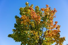 Tree with colofrul leaves in autumn with blue sky. Yellow green red Royalty Free Stock Photos