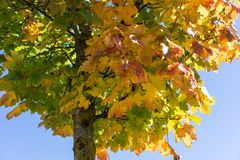 Tree with colofrul leaves in autumn with blue sky. Yellow green red Royalty Free Stock Photography