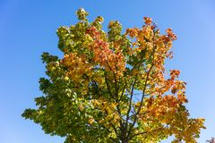 Tree with colofrul leaves in autumn with blue sky. Yellow green red Stock Images