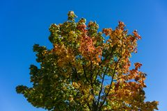 Tree with colofrul leaves in autumn with blue sky. Yellow green red Royalty Free Stock Image