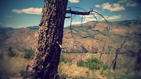 Tree in Colorado. Burnt Tree in Colorado with a Mountainous Background Royalty Free Stock Photo