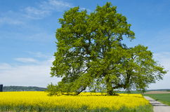 Tree in colza field in spring Royalty Free Stock Photo