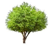 The tree is completely separated from the background, scientific name. Sindora siamensis. The green sacred tree is completely separated from the white background stock photography