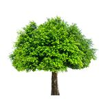 The tree is completely separated from the white ba background Scientific name. Ficus benjamina stock photo