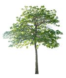 The tree is completely separated from the white ba background Scientific name. Hymenodictyon orixense Roxb. Mabb royalty free stock images