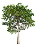 The tree is completely separated from the white ba background Scientific name. Hymenodictyon orixense Roxb. Mabb royalty free stock image