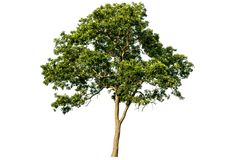 The tree is completely separated from the white ba background Scientific name. Pterocarpus macrocarpus stock photo