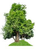 The tree is completely separated from the white ba background Scientific name Tamarindus indica L. Tamarind royalty free stock photography