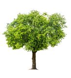 The tree is completely separated from the white ba background Scientific name. Tamarindus indica stock images
