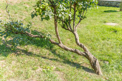 Tree. Contorted tree growed in a ukrainian park stock images