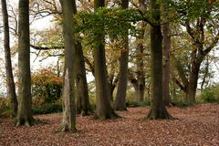Tree copse close-up. Tree copse trunks with woodland floor and fallen leaves autumn fall Royalty Free Stock Photo