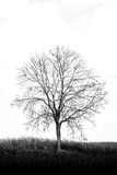 A tree among corn field Royalty Free Stock Image