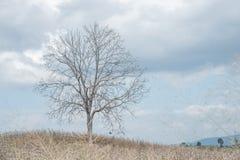 A tree among corn field Stock Photo