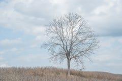 A tree among corn field Stock Image