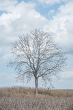 A tree among corn field Royalty Free Stock Images