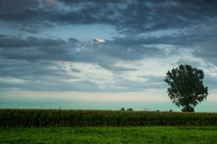 Tree in corn field landscape with beautiful big blue sky. Copyspace. Ecology concept. Stock Photography