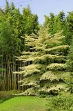 Tree Cornus controversa in the park of the bamboo plantation of Royalty Free Stock Images