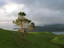 Tree on the Coromandel Peninsula Royalty Free Stock Image
